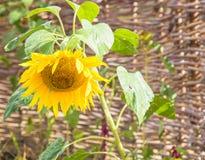 Głowa pełno dojrzały słonecznikowych ziaren zginający puszek Zdjęcia Stock