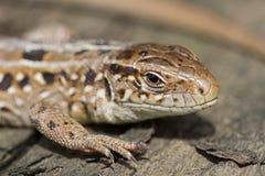 Głowa piaska brązu jaszczurka, Lacerta agilis Rosja Obrazy Stock