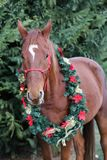Głowa potomstw atchristmas thoroughbred końska wigilia fotografia royalty free