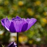 Głowa purpurowy anemon w świetle obraz royalty free