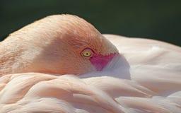 Głowa różowy flaming patrzeje obserwatora obraz stock