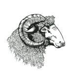 Głowa rysująca w antykwarskim akwaforta stylu baran ręka Bydlęcia zwierzę odizolowywający na białym tle Wektorowa ilustracja w mo royalty ilustracja
