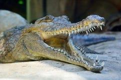 Głowa słodkowodny krokodyla Crocodylus johnsoni zdjęcie stock