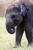 Głowa słonia azjata lub Asiatic słoń Zdjęcie Royalty Free