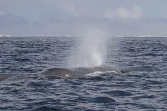 Głowa sperma wieloryb produkuje fontannę woda przedtem Zdjęcia Royalty Free
