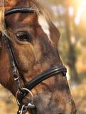 Głowa strzał piękna brown końska jest ubranym uzda w pinfold fotografia stock