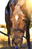 Głowa strzał piękna brown końska jest ubranym uzda w pinfold obraz royalty free