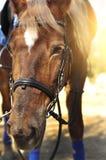Głowa strzał piękna brown końska jest ubranym uzda w pinfold zdjęcie stock