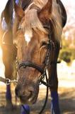 Głowa strzał piękna brown końska jest ubranym uzda w pinfold obraz stock