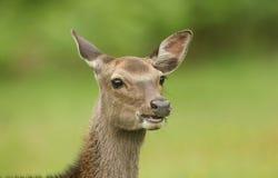 Głowa strzał piękny Sika Cervus Nippon Jeleni karmienie w łące przy krawędzią las Zdjęcia Stock