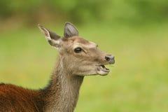 Głowa strzał piękny Sika Cervus Nippon Jeleni karmienie w łące przy krawędzią las Zdjęcie Royalty Free