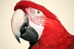 głowa strzału ara scarlet zdjęcie royalty free