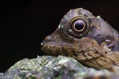 Głowa strzału wizerunki jaszczurka fotografia royalty free