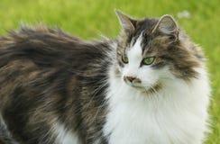 Głowa strzelał ładny kota Felis catus Zdjęcia Royalty Free