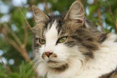Głowa strzelał kota Felis catus na Orkney, Szkocja Obraz Stock