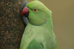 Głowa strzelał necked lub upierścieniony Parakeet karmienie od nasieniodajnego dozownika, Ja jest UK ` s najwięcej obfitej natura obraz stock