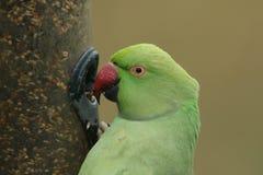 Głowa strzelał necked lub upierścieniony Parakeet karmienie od nasieniodajnego dozownika, Ja jest UK ` s najwięcej obfitej natura obraz royalty free