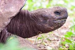 Głowa strzelająca Gigantyczny Tortoise Zdjęcia Royalty Free