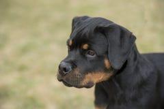 Głowa strzelająca młody Rottweiler Selekcyjna ostrość na psie Zdjęcia Royalty Free