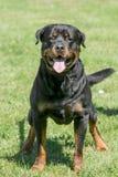 Głowa strzelająca Rottweiler Selekcyjna ostrość Obraz Royalty Free