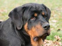 Głowa strzelająca Rottweiler Selekcyjna ostrość na psie Obraz Royalty Free
