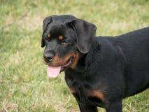 Głowa strzelająca Rottweiler Selekcyjna ostrość na psie Fotografia Royalty Free