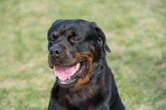 Głowa strzelająca Rottweiler Selekcyjna ostrość na psie Zdjęcie Royalty Free