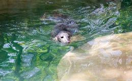 Głowa szara foka wyłaniał się od wody obrazy royalty free