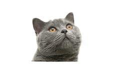 Głowa szary kot z kolorów żółtych oczami odizolowywającymi na białym tle Fotografia Stock