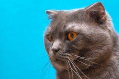 Głowa Szkocki Fałdowy kot na błękitnym tle Pojęcie weterynaryjna reklama zdjęcia royalty free