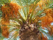Głowa tropikalna Daktylowa palma obraz stock
