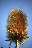 Głowa wysuszona roślina z cierniami i prickles obrazy royalty free