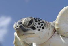 głowa zbliżania żółwia Obrazy Stock