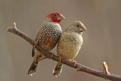 głowiasta finches czerwień Zdjęcie Stock