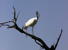 głowiasty czerń ibis Zdjęcie Stock