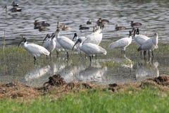 głowiasty czerń ibis obrazy royalty free