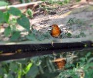 głowiasty pomarańczowy drozd Fotografia Royalty Free