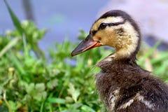 Głowy i shouldrers profil młody mallard kaczątko w trawie Zdjęcia Stock