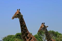 GŁOWY I szyje DOROSŁA samiec I potomstwo żyrafa Fotografia Stock