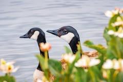 Głowy para Kanada gąsek Branta canadensis widoczny za kwiatami kwitnie na linii brzegowej jezioro, Mountain View obrazy royalty free