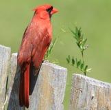 główny redbird obraz royalty free