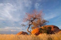 głazów granitowi Namibia drzewa Obraz Royalty Free