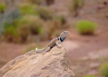 G. Basin Collared Lizard, Crotaphytus bicinctores Stock Image