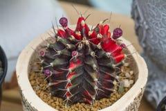 G cactus di mihanovichii fotografia stock