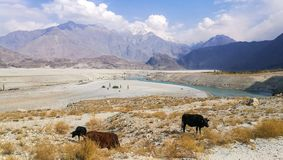 Cows grazing at the roadside in Skardu. royalty free stock images