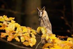gå i ax lång owl Arkivbild