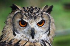 gå i ax lång owl Arkivbilder