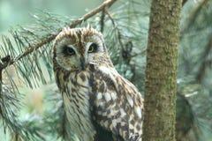 gå i ax owlkortslutning Royaltyfri Bild