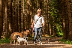 G? med m?nga hundkappl?pning p? en koppel Hundbarnvakt med olika hundavel i den härliga skogen arkivfoto