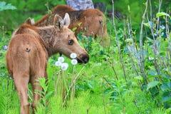 G?meos novos da vitela dos alces de Alaska foto de stock royalty free